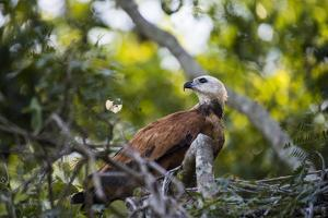 A Mantled Hawk in a Nest by Max Lowe