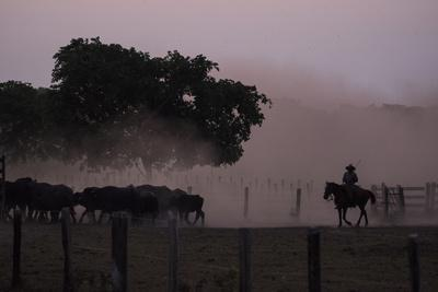 A Pantanero Moves Cattle Late in the Evening on a Ranch