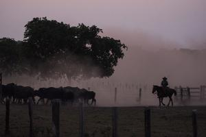 A Pantanero Moves Cattle Late in the Evening on a Ranch by Max Lowe