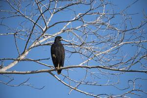 A Snail Kite Perches in a Tree by Max Lowe