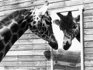 Maxi the Giraffe Gazing at Reflection in Mirror, 1980