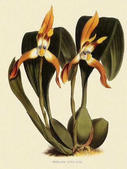 Maxillaria Luteoalba-John Nugent Fitch-Giclee Print