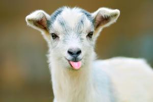 funny goat puts out its tongue by maximili