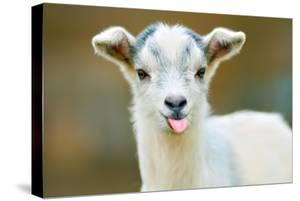 funny goat puts out its tongue by maximili
