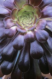 Aeonium Arboreum by Maxine Adcock