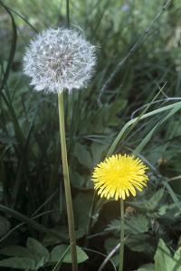 Dandelion (Taraxacum Officinale) by Maxine Adcock