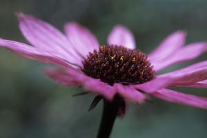Echinacea Purpurea by Maxine Adcock