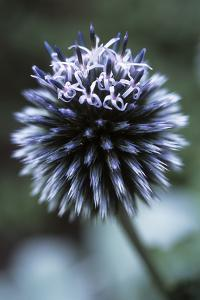 Globe Thistle 'Veitch's Blue' by Maxine Adcock