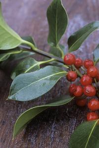 Holly (Ilex Aquifolium) by Maxine Adcock