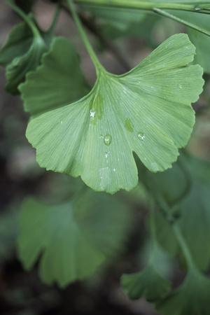 Maidenhair Tree Leaf (Ginkgo Biloba)