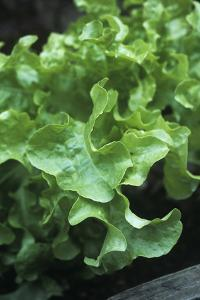 Organic Lettuce (Lactuca 'Salad Bowl') by Maxine Adcock
