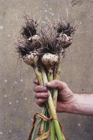 Organic Serpent Garlic