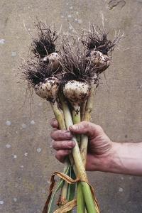 Organic Serpent Garlic by Maxine Adcock