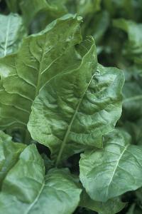Perpetual Spinach (Beta Vulgaris) by Maxine Adcock