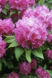 Rhododendron Flowers (Rhododendron Sp.) by Maxine Adcock