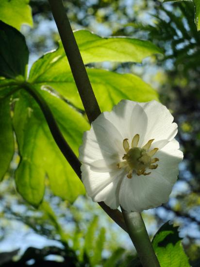 Mayapple Flower Up Close-Darlyne A^ Murawski-Photographic Print