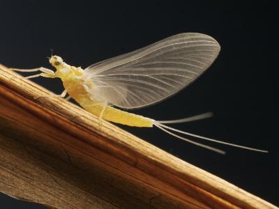 Mayfly Sub-Adult Female (Probably Ephemerella Dorothea)-Thomas Ames Jr.-Photographic Print