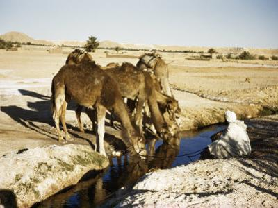 Seated Man Holds Reins of Camels Drinking Water from an Oasis's Well