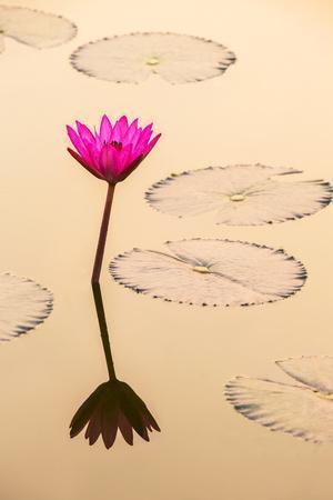Beautiful Pink Water Lily Closeup