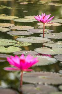 Beautiful Pink Water Lily Closeup by mazzzur