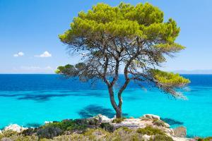 Pine Forest Tree by the Sea in Halkidiki, Greece by mazzzur