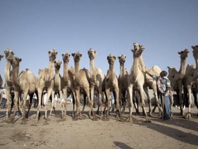 Camel Traders at the Early Morning Livestock Market in Hargeisa, Somaliland, Somalia, Africa by Mcconnell Andrew