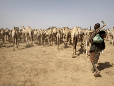 Nomadic Camel Herders Lead their Herd to a Watering Hole in Rural Somaliland, Northern Somalia by Mcconnell Andrew