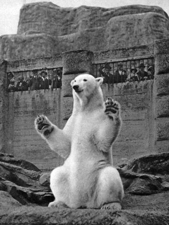 Polar Bear on the Mappin Terrace at London Zoo, 1926-1927