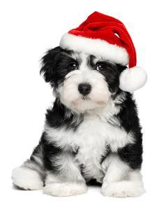 Cute Christmas Havanese Puppy Dog with a Santa Hat by mdorottya