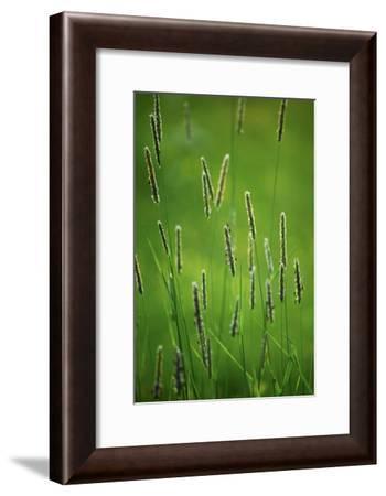 Meadow Foxtail (Alopecurus Pratensis)-Bjorn Svensson-Framed Photographic Print
