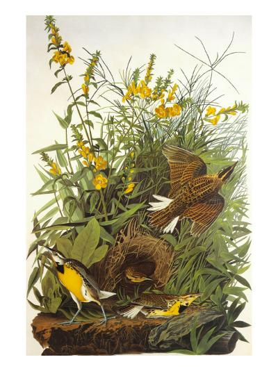 Meadow Lark-John James Audubon-Art Print