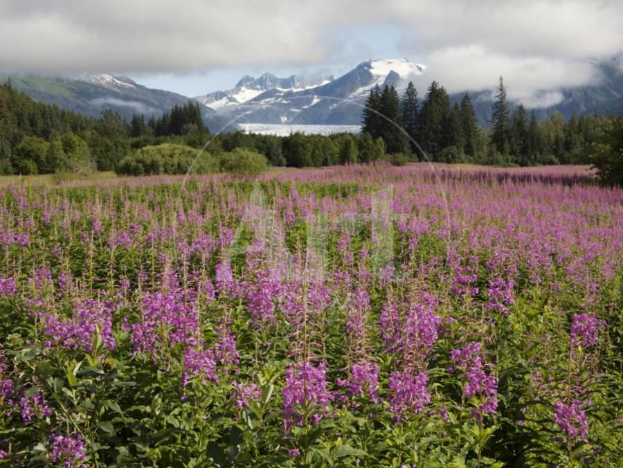 Meadow of Blooming Fireweed Frames Mendenhall Glacier, Juneau ...