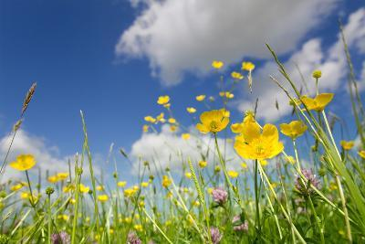 Meadow of Grass and Blooming Summer Buttercups under Blue Sky-Echo-Photographic Print