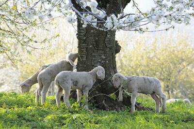 https://imgc.artprintimages.com/img/print/meadow-sheep-young-animals-graze_u-l-q11vv8h0.jpg?p=0