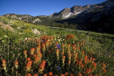 Meadow Wildflowers, Little Cottonwood Canyon, Albion Basin, Utah, USA-Charles Gurche-Photographic Print