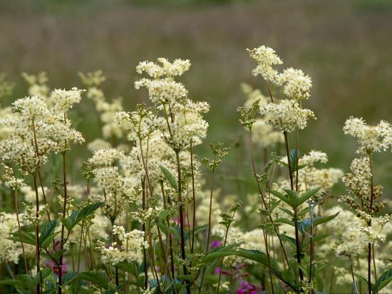 Meadowsweet, Orkeney Mainland-Iain Sarjeant-Photographic Print