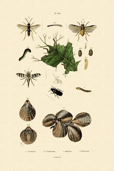 Mealworm Beetle, 1833-39--Giclee Print
