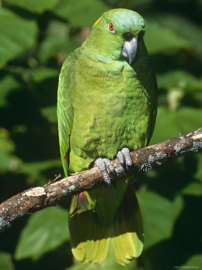 Mealy Amazon Parrot-Lynn M^ Stone-Photographic Print