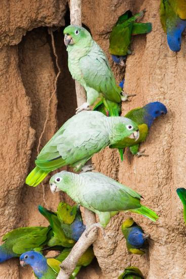 Mealy Parrots at Clay-Lick-Howard Ruby-Photographic Print
