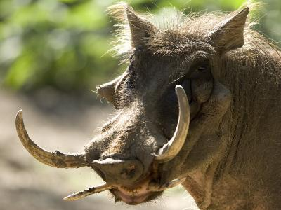 Mean Looking Warthog with Very Long Tusks Looks at the Camera, Henry Doorly Zoo, Nebraska-Joel Sartore-Photographic Print