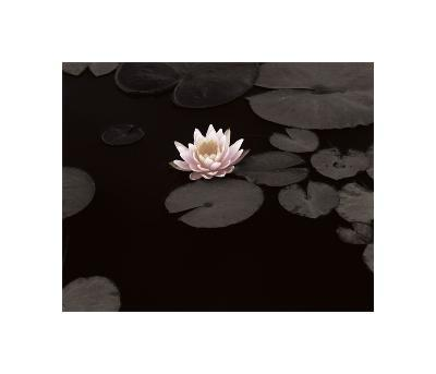Meandering Lily II--Giclee Print