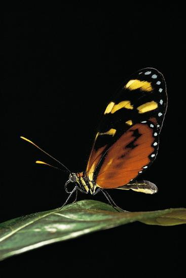 Mechanitis Polymnia (Orange-Spotted Tiger Clearwing)-Paul Starosta-Photographic Print