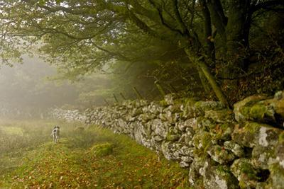 A Bird Dog Trots Along a Stone Fence in the Southwest of England