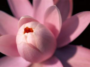 A Close View of a Pink Fragrant Water Lily by Medford Taylor