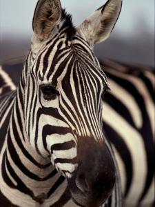 A Close View of a Plains Zebra by Medford Taylor