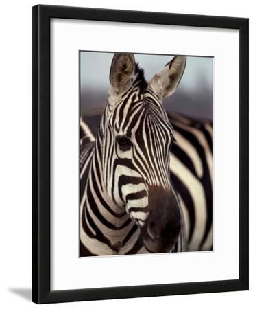 A Close View of a Plains Zebra