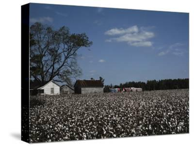 A Cotton Field Surrounds a Small Farm