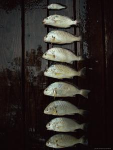 A Days Catch, Including One That Should Have Been Thrown Back, are Lined up on a Wet Dock by Medford Taylor