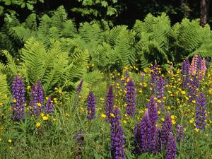 A Field of Ferns, Lupines and Other Wildflowers by Medford Taylor
