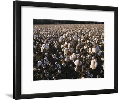 A Field of Fluffy Cotton Plants in North Carolina